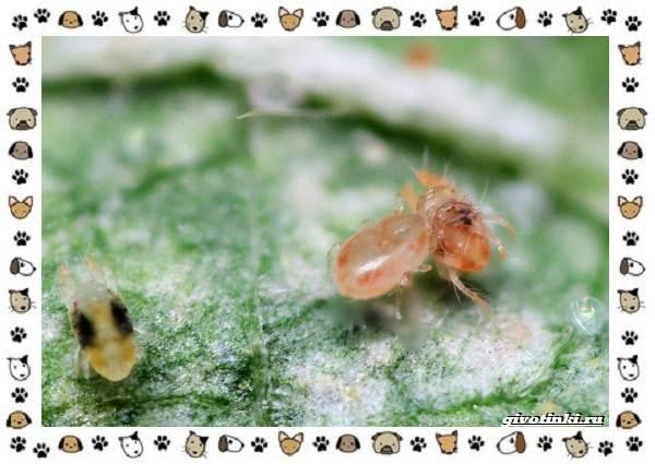 Виды-клещей-безобидные-потребители-органики-хищники-вредители-и-паразиты-10