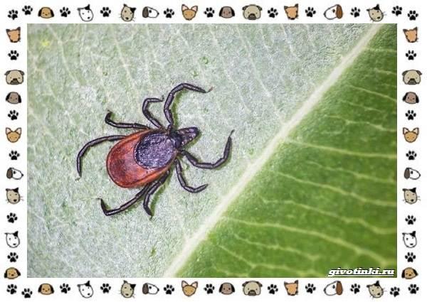 Виды-клещей-безобидные-потребители-органики-хищники-вредители-и-паразиты-21