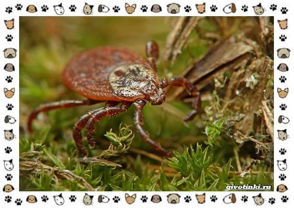 Виды-клещей-безобидные-потребители-органики-хищники-вредители-и-паразиты-22