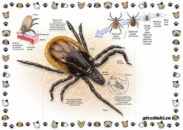 Виды-клещей-безобидные-потребители-органики-хищники-вредители-и-паразиты-4