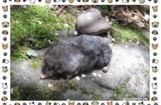 Японский крот: описание, особенности и среда обитания