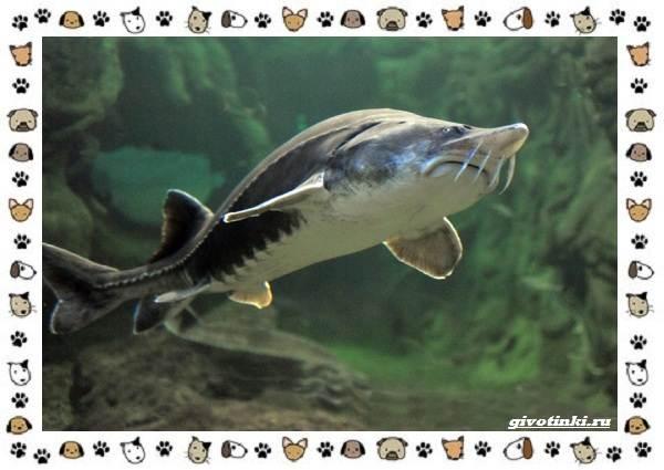 Осетровые-виды-рыб-описание-особенности-и-среда-обитания-10