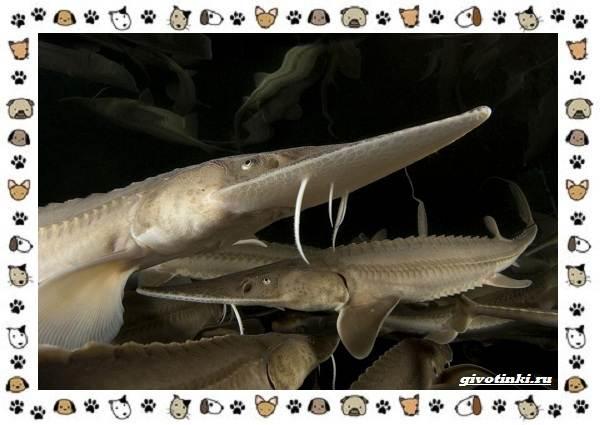 Осетровые-виды-рыб-описание-особенности-и-среда-обитания-13