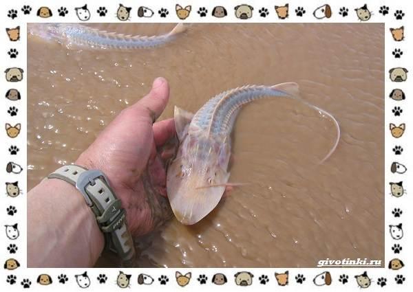 Осетровые-виды-рыб-описание-особенности-и-среда-обитания-15