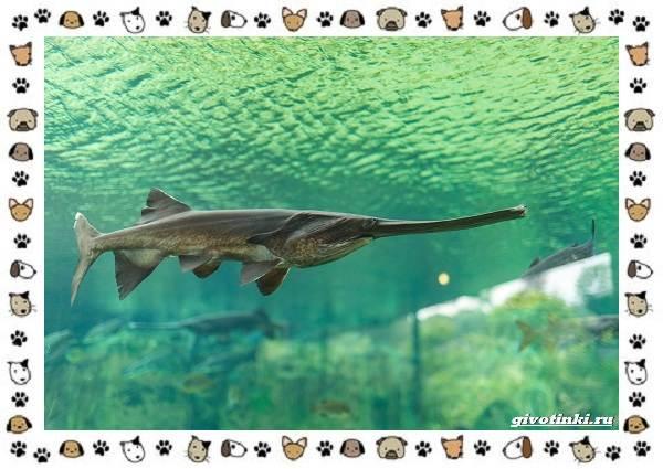 Осетровые-виды-рыб-описание-особенности-и-среда-обитания-16