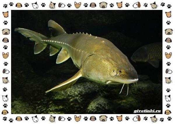 Осетровые-виды-рыб-описание-особенности-и-среда-обитания-18