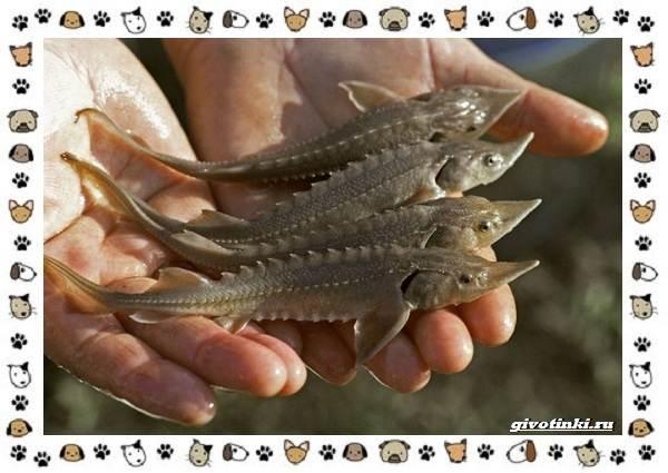 Осетровые-виды-рыб-описание-особенности-и-среда-обитания-2