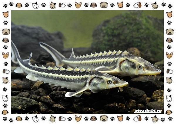 Осетровые-виды-рыб-описание-особенности-и-среда-обитания-21