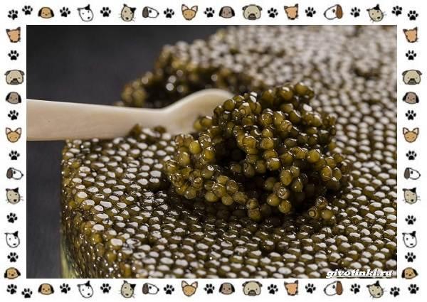 Осетровые-виды-рыб-описание-особенности-и-среда-обитания-3