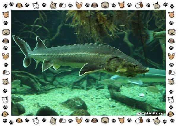 Осетровые-виды-рыб-описание-особенности-и-среда-обитания-4