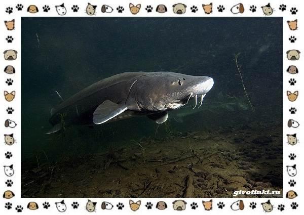 Осетровые-виды-рыб-описание-особенности-и-среда-обитания-6