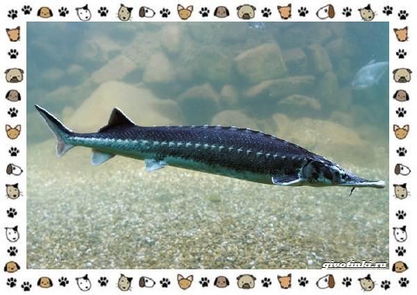 Осетровые-виды-рыб-описание-особенности-и-среда-обитания-8
