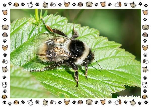 Виды-пчёл-и-их-неразгаданные-секреты-13