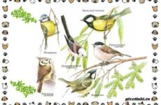 Виды синиц – необычайно полезных маленьких птичек