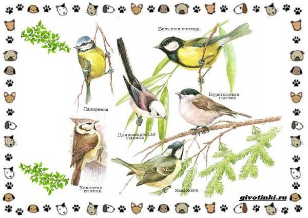 Виды-синиц-необычайно-полезных-маленьких-птичек-1