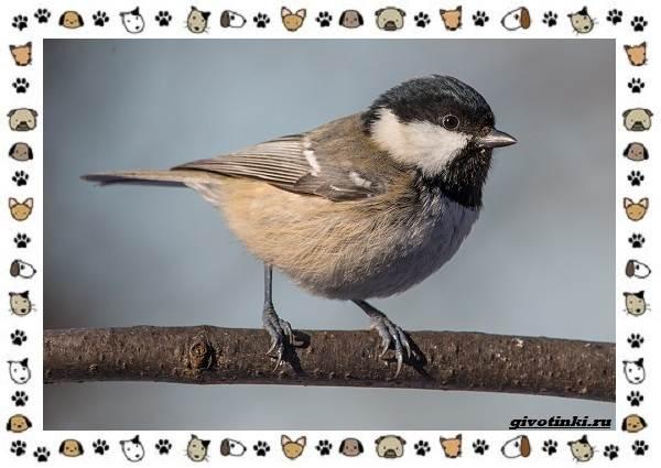 Виды-синиц-необычайно-полезных-маленьких-птичек-10