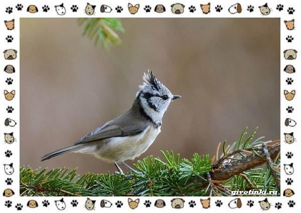 Виды-синиц-необычайно-полезных-маленьких-птичек-11