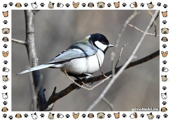 Виды-синиц-необычайно-полезных-маленьких-птичек-13