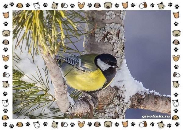 Виды-синиц-необычайно-полезных-маленьких-птичек-15