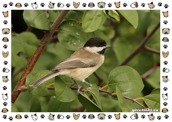 Виды-синиц-необычайно-полезных-маленьких-птичек-16