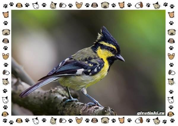 Виды-синиц-необычайно-полезных-маленьких-птичек-17