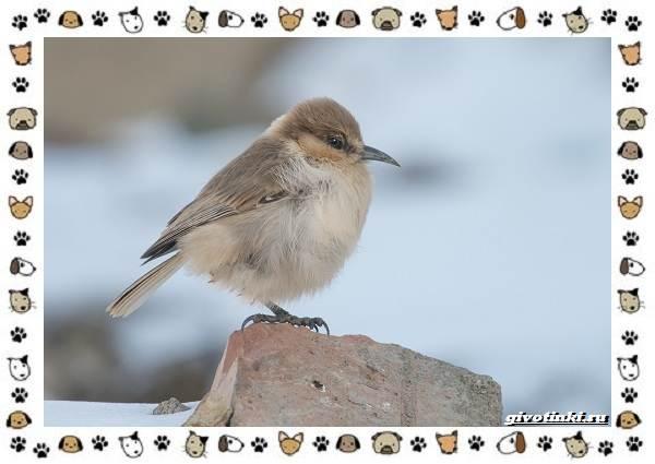 Виды-синиц-необычайно-полезных-маленьких-птичек-18