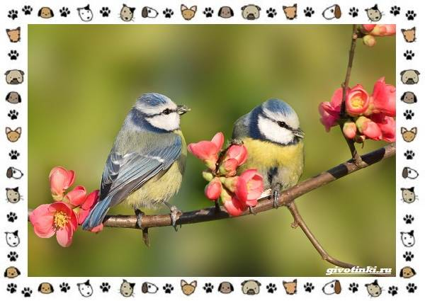 Виды-синиц-необычайно-полезных-маленьких-птичек-23