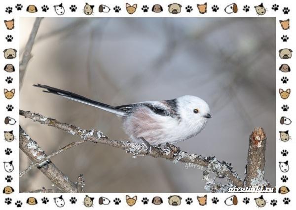 Виды-синиц-необычайно-полезных-маленьких-птичек-25