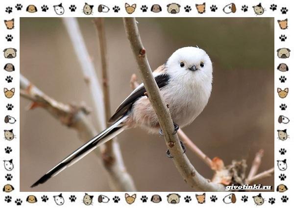 Виды-синиц-необычайно-полезных-маленьких-птичек-26