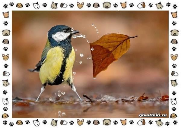 Виды-синиц-необычайно-полезных-маленьких-птичек-3