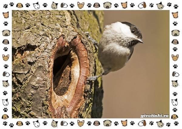 Виды-синиц-необычайно-полезных-маленьких-птичек-4