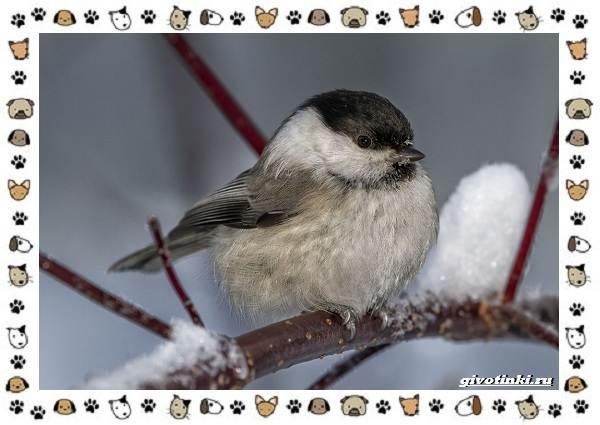 Виды-синиц-необычайно-полезных-маленьких-птичек-5