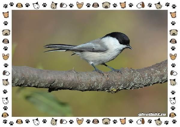 Виды-синиц-необычайно-полезных-маленьких-птичек-6