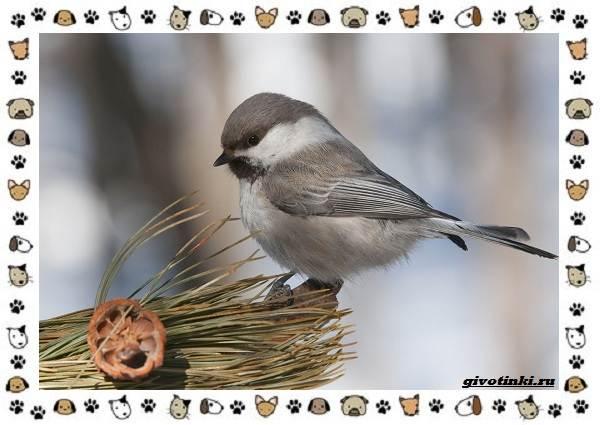 Виды-синиц-необычайно-полезных-маленьких-птичек-7