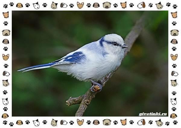 Виды-синиц-необычайно-полезных-маленьких-птичек-9