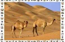 Виды верблюдов – самых крупных млекопитающих пустыни