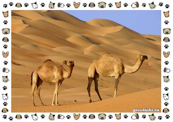 Виды-верблюдов-самых-крупных-млекопитающих-пустыни-1
