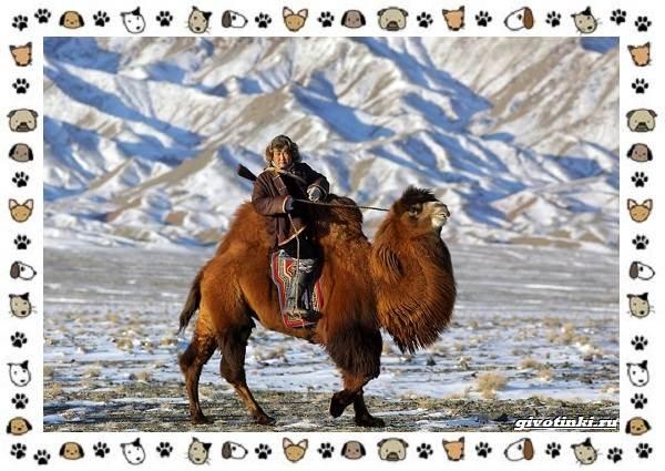 Виды-верблюдов-самых-крупных-млекопитающих-пустыни-10
