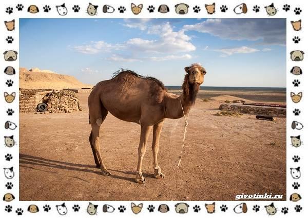 Виды-верблюдов-самых-крупных-млекопитающих-пустыни-11