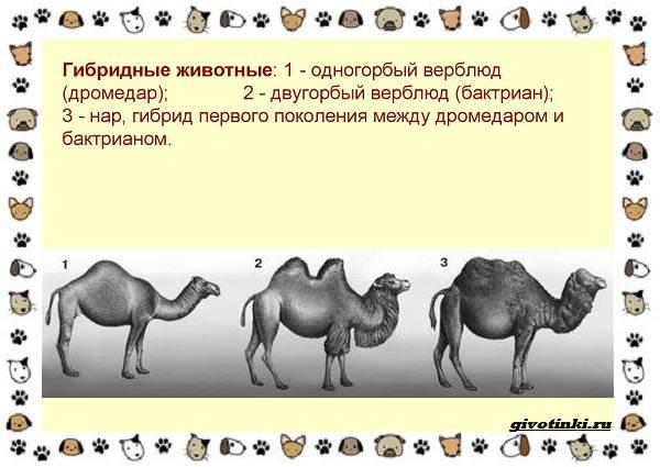 Виды-верблюдов-самых-крупных-млекопитающих-пустыни-12