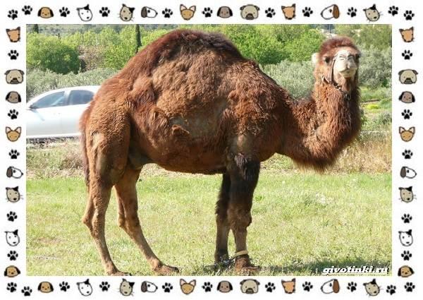 Виды-верблюдов-самых-крупных-млекопитающих-пустыни-13