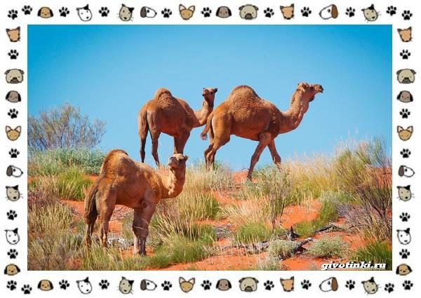 Виды-верблюдов-самых-крупных-млекопитающих-пустыни-14