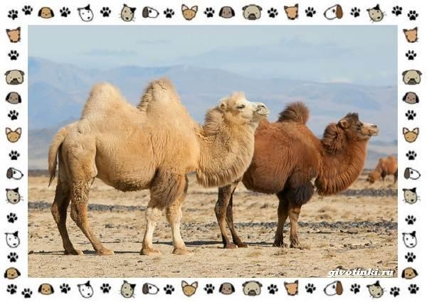 Виды-верблюдов-самых-крупных-млекопитающих-пустыни-15