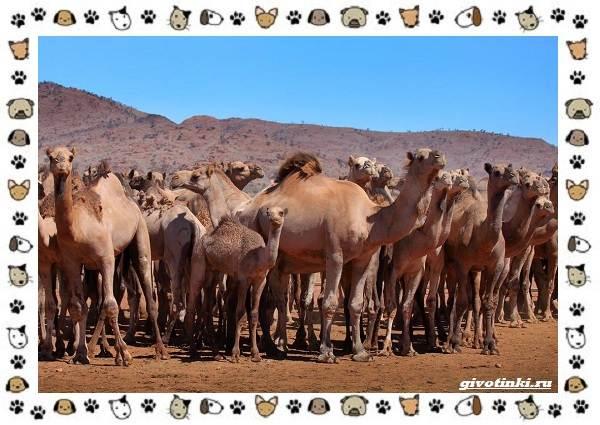Виды-верблюдов-самых-крупных-млекопитающих-пустыни-16