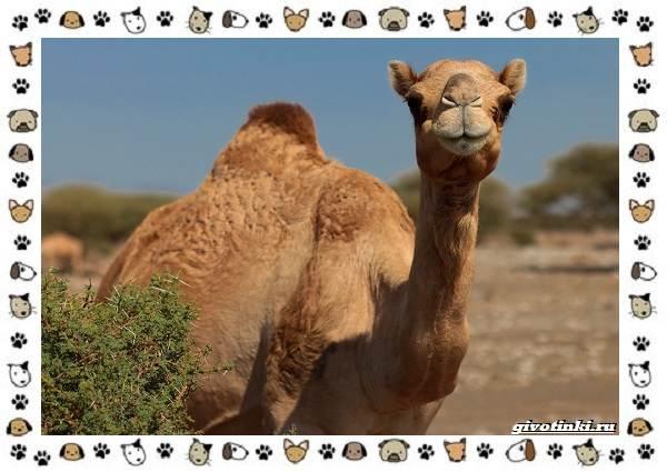 Виды-верблюдов-самых-крупных-млекопитающих-пустыни-2