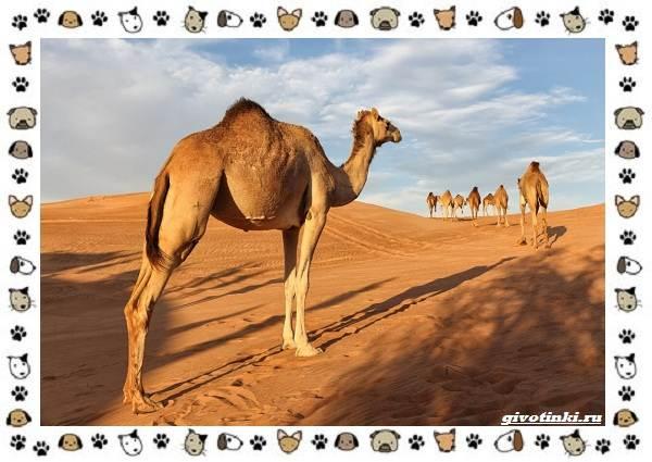 Виды-верблюдов-самых-крупных-млекопитающих-пустыни-3