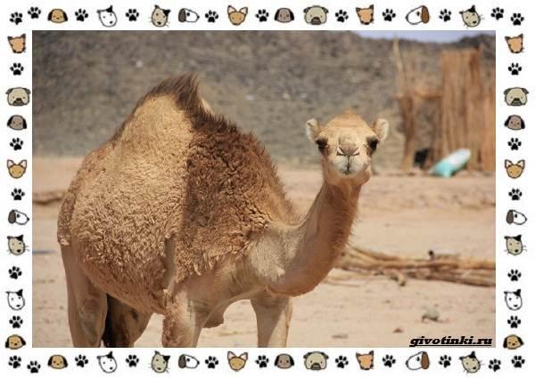 Виды-верблюдов-самых-крупных-млекопитающих-пустыни-4