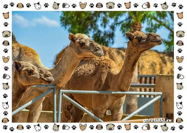 Виды-верблюдов-самых-крупных-млекопитающих-пустыни-5
