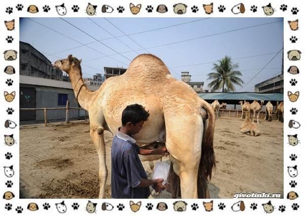 Виды-верблюдов-самых-крупных-млекопитающих-пустыни-6