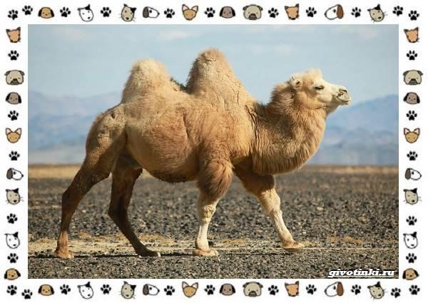 Виды-верблюдов-самых-крупных-млекопитающих-пустыни-7